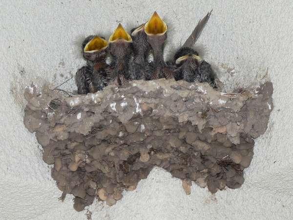 Rauchschwalbe-Nest